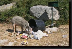 Korsické prase rabuje popelnici