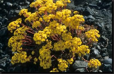Endemická rostlina rodu Eonium