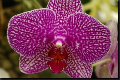 Kráska z orchidejové zahrady