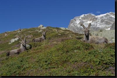 Stádo kozorožců alpských
