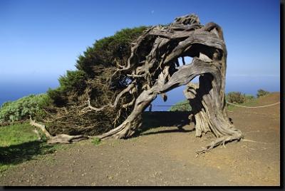 Bizarně pokroucený jalovec kanárský na ostrově El Hierro