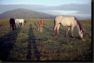 Koně v pohoří Parâng