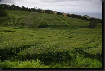 Čajové plantáže Gorreana