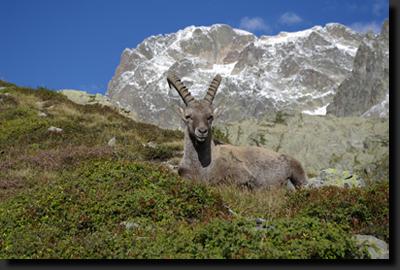Kožorožec alpský pózuje téměř jako modelka